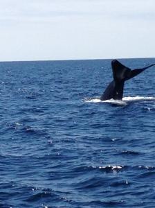 Blue Whale Fluke!